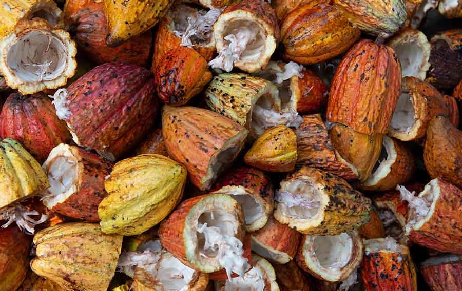 Какао-бобы и биотопливо из них