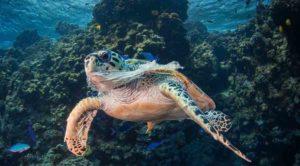 океанская черепаха запуталась в пластике